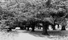 Yew_Tree_Avenue305.jpg